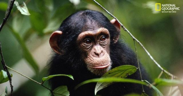 การรักษาระยะห่างทางสังคม, ชิมแปนซี, พฤติกรรมสัตว์