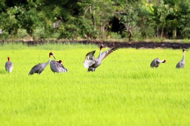 นกกระเรียน, นกกระเรียนพันธุ์ไทย, อนุรักษ์, บุรีรัมย์
