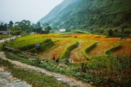 Ruộng bậc thang mùa gặt