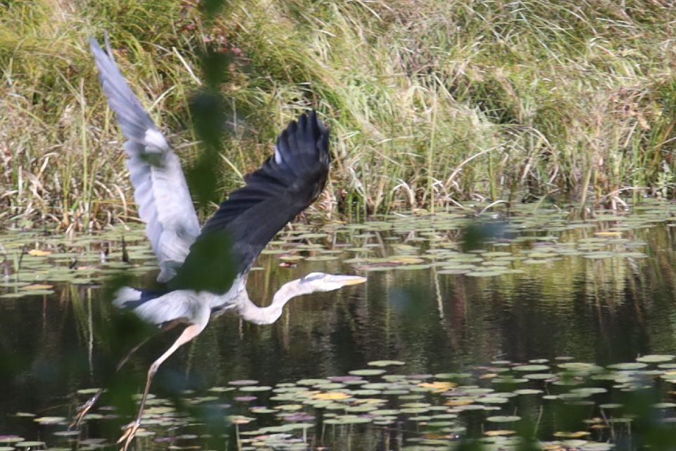 Heads Pond -Hooksett NH - Great Blue Heron 09212019 3