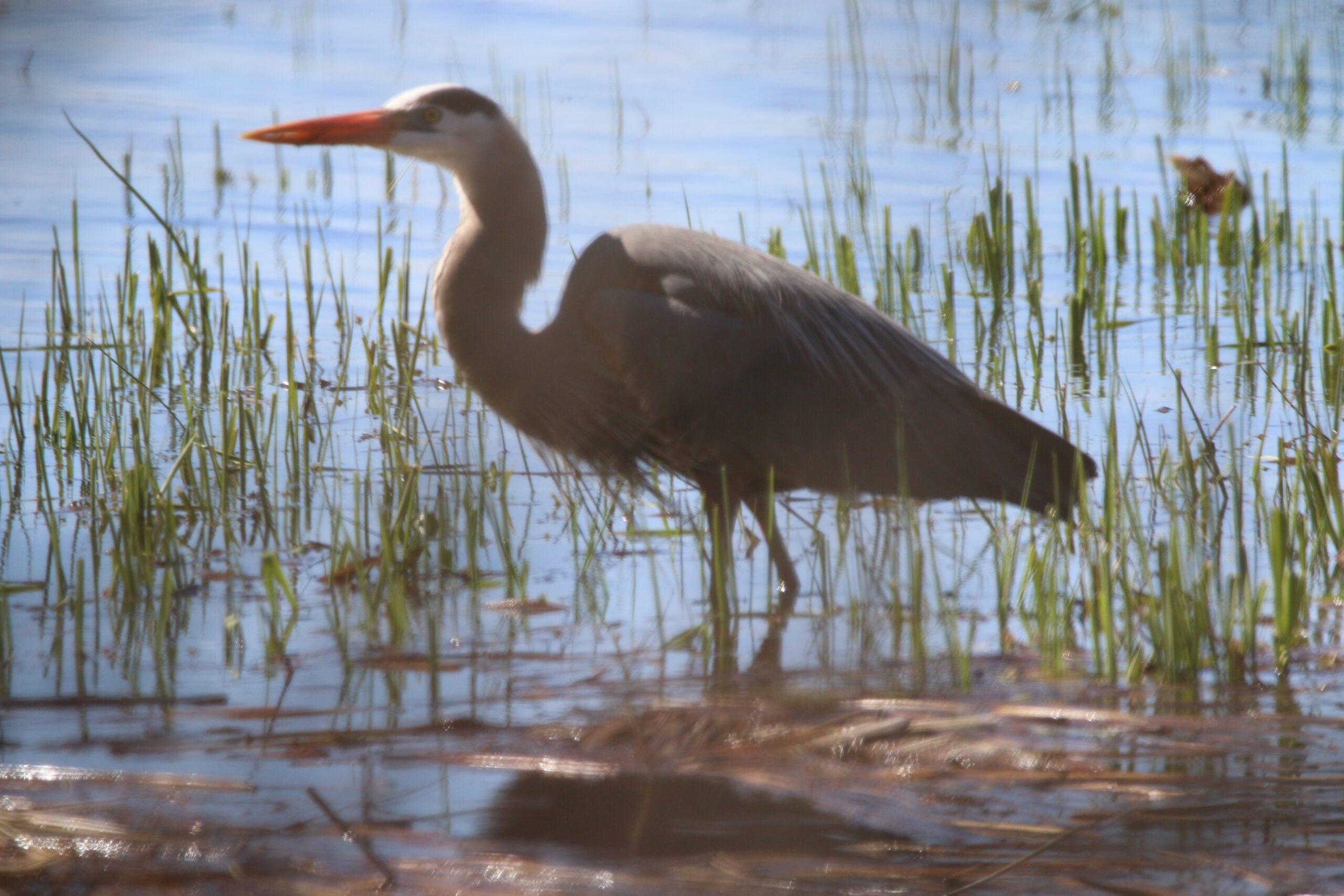 Massebesic Lake - Loon/Crane Habitat 3