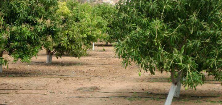 tưới nhỏ giọt cho cây xoài