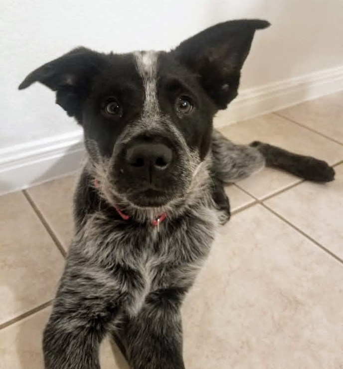 Adopt Thor - Heeler puppy - New Hope Animal Rescue, Austin Tx