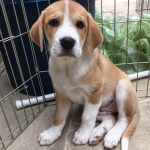 Adopt Scarlet - Plott hound/St. Bernard mix puppy