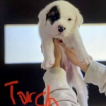 Adopt Torch - Plott hound/St. Bernard mix puppy