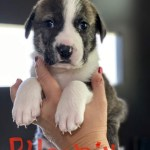 Phoenix - Plott hound/St. Bernard mix puppy