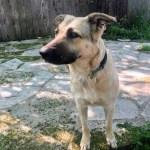 Bandette - Anatolian Shepherd, 2yo, 63lbs