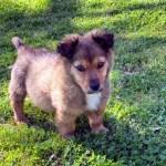 Adopt Levi: corgi-shepherd-puppy