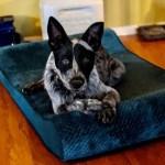 Loki-HeelerPuppy