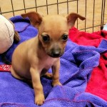 Bailey - 8wk old Chi Mix