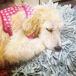 Roxy -Great Pyrenees Puppy