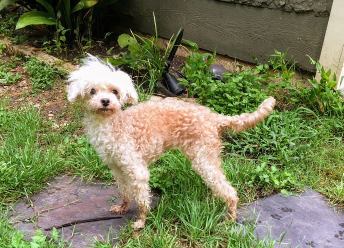 Gertie - 8yo Poodle