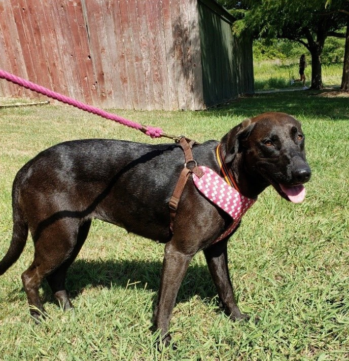 Lucy – 1.5 yo Lab Mix