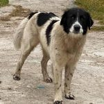 Pyrenees mix - dog rescued from dyeing from cold