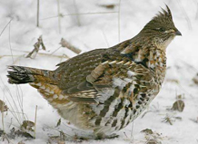 birds-ruffed-grouse