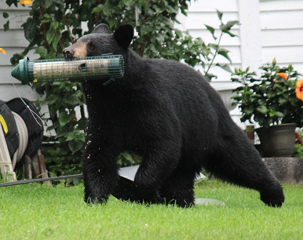 bears with bird feeders Joel Rhymer 1 free-to-use