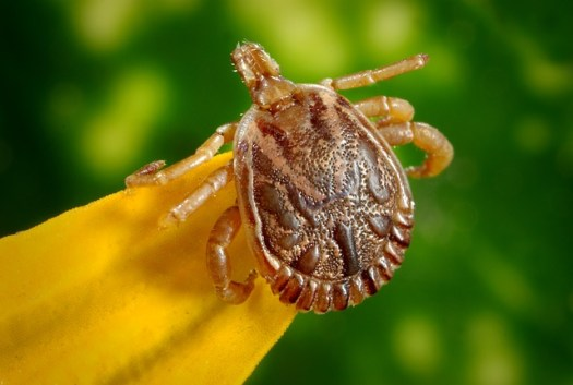 natural-health-sciences-arizona-lyme-disease-tick-2c