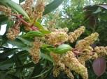 Hoa Xoài - Mango Flowers