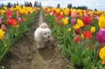 tulip uat kim huong (11)