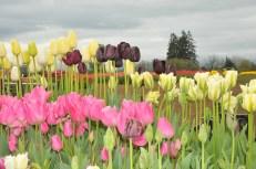 tulip uat kim huong (16)