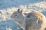 Squirrel at Hearst San Simeon State Park, CA