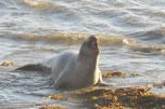 Elephant Seal at Hearst San Simeon State Park, CA
