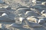 Elephant Seals at Hearst San Simeon State Park, CA