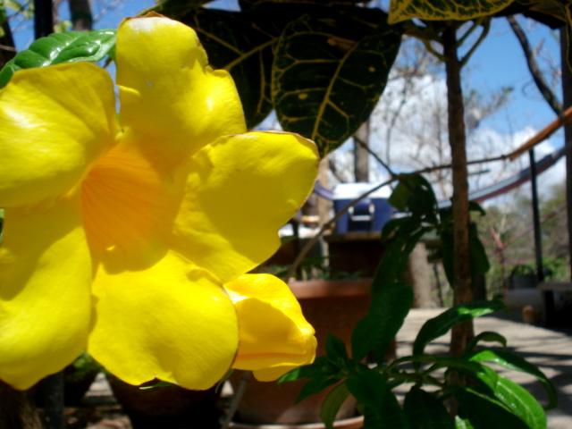 Yellow flower - Barrio La Planta - San Juan del Sur