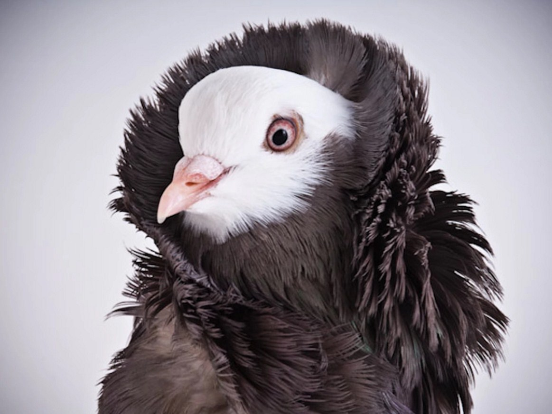 point du pigeon triganino