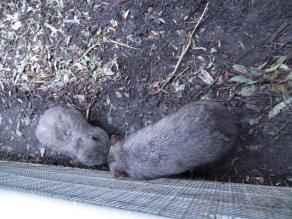Wombats!!!