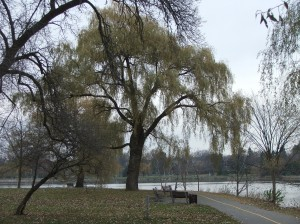 Central Experimental Farm Arboretum, Ottawa, Willow at Dows Lake - P Anderson November 2013
