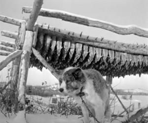 Dog tethered by drying rack of fish for dog food (most likely inconnu) Busse/NWT Archives/N-1979-052-1523