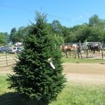 Balsam fir Christmas tree, Halifax County Exhibition, 2014