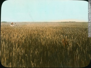 Grain field in Saskatchewan, 1922
