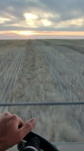 I look forward from the cab of a combine, harvesting swathes of canola from Section 33, a 550-acre field, at sundown. South of Hardisty, Alberta, and north of the Battle River, September 22, 2014.