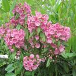 Lambkill (Kalmia angustifolia)