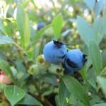 Wild blueberry (Vaccinium angustifolium)