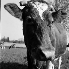 Mennonite farmer, Wilbert Brubacher's Guernsey cow, in Waterloo, Ontario; October 1954. Credit: Mennonite Archives of Ontario, Waterloo ON CA MAO Hist.Mss. 10.28-DH-428