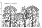 Figure 1a: Agroforestry coffee system (1820s-1840s) source: Fournier, L. (1980). Fundamentos ecológicos del cultivo del café. IICA. PM-230. (San José, Costa Rica: PROMECAFE).