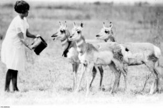 """A visitor feeding pronghorns at Buffalo National Park,"" n.d. Courtesy of LAC, PA 040649."