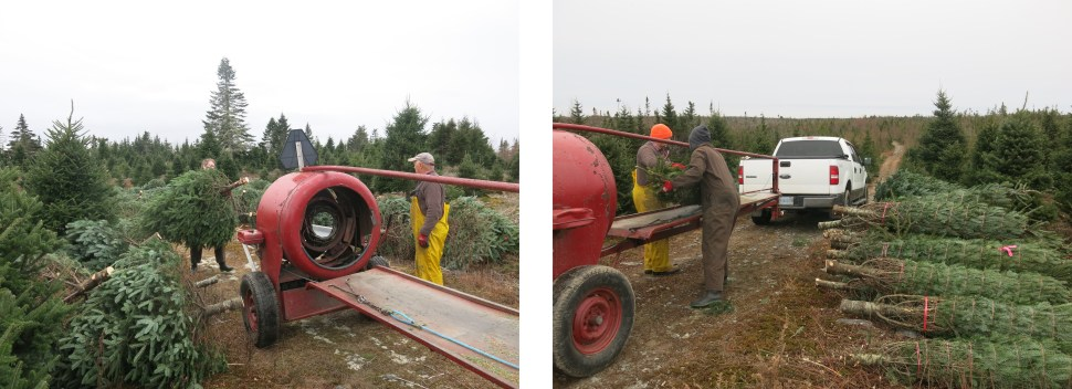 Two images of men running a Christmas tree baler from different angles and a pile of bundled trees beside them