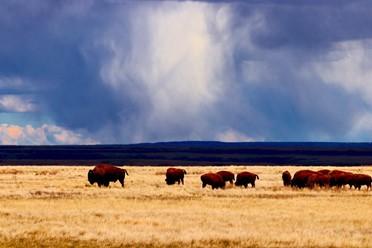 Plains Bison Herd at Grasslands National Park.
