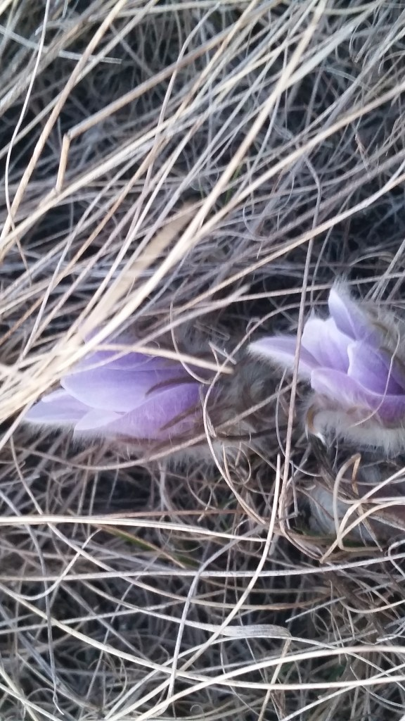 Close-up photograph of pale violet-coloured crocuses budding among strands of grass.
