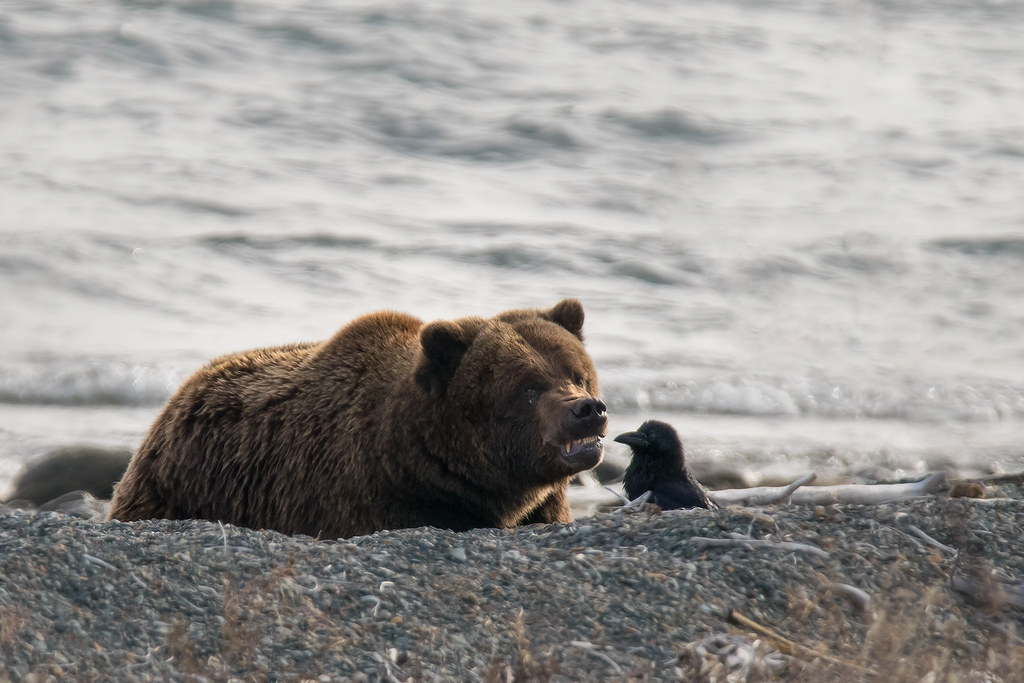 Image of a grizzly bear snarling at a raven