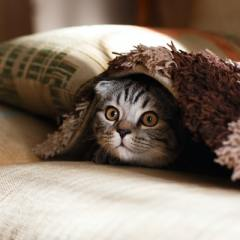 Cat peeking out from sofa blanket