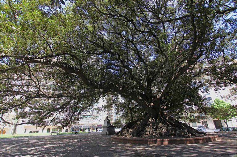 Un arbol gomero gigante en Recoleta