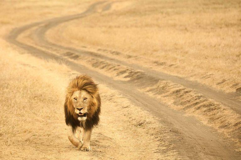 adult male lion Ngorongoro