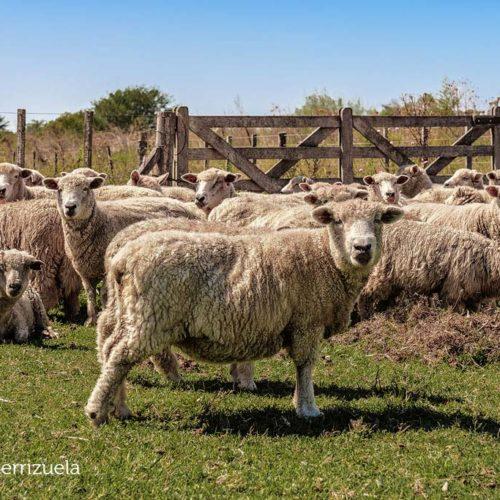 Gaston Serrizuela ovejas animales Pardo