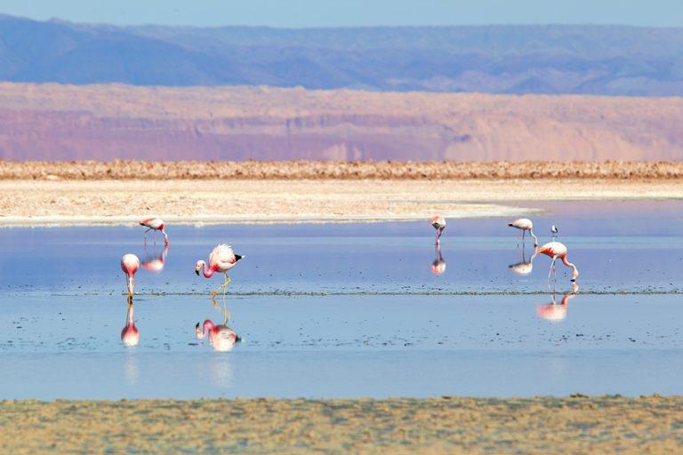 Flamingoes in the Chaxa lagoon, Atacama, Chile