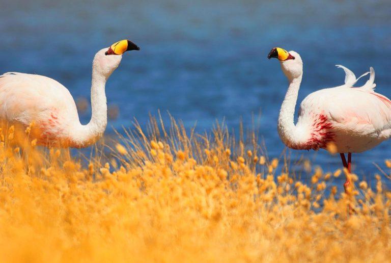flamingos Bolivia